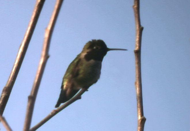Humming Bird (approx 90 ft distance)
